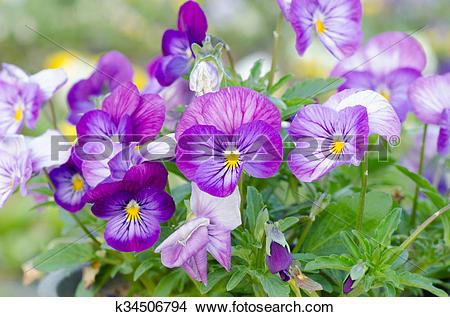 Stock Photo of Viola cornuta, horned pansy, tufted pansy k34506794.