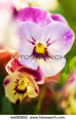 Stock Image of Big and Small Pasy Duo. Viola x wittrockiana.