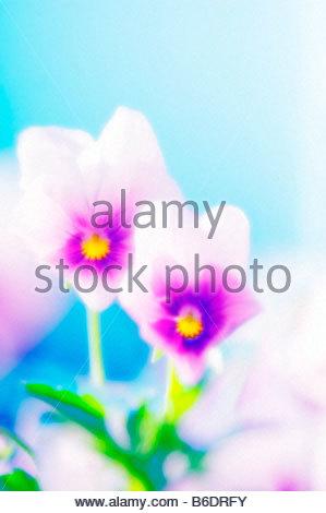 Viola Wittrockiana Hybrid Pansy Viola Stock Photos & Viola.