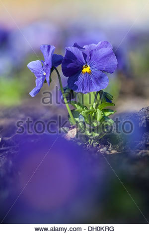Violets Stock Photos & Violets Stock Images.