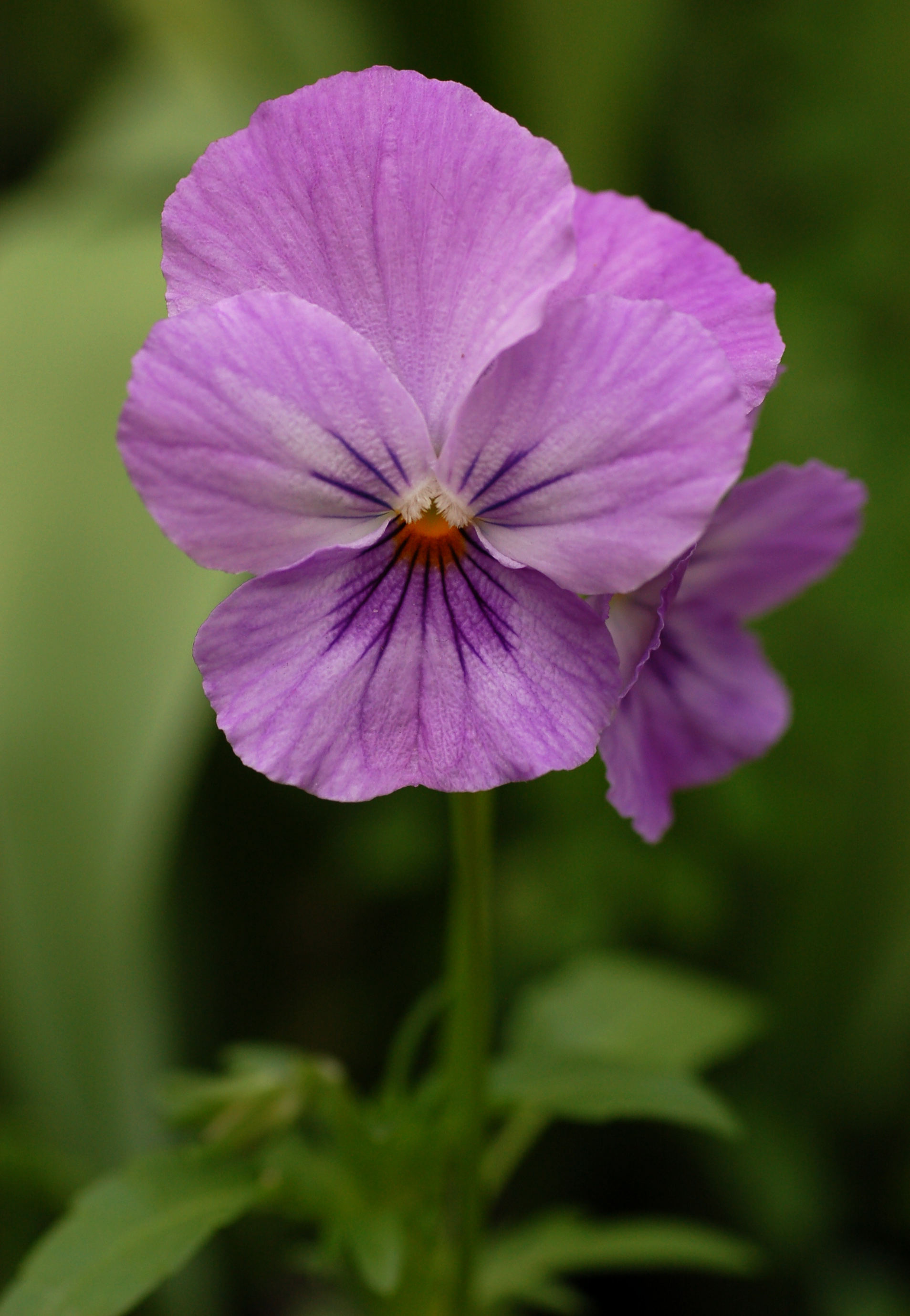 1000+ images about Pansies on Pinterest.