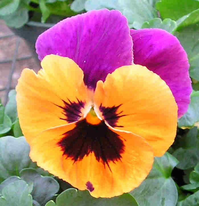1000+ images about Herbs & Edible Flowers on Pinterest.