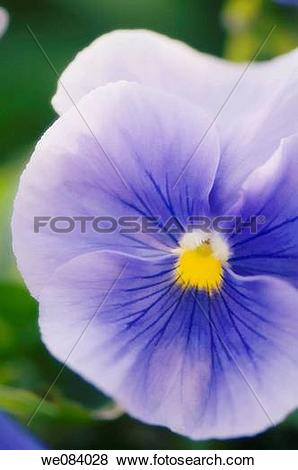 Pictures of Light Blue Pansy Close.