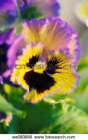 Pictures of Lavender and Yellow Pansy with Dark Center. Viola x.