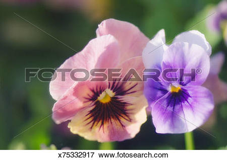 Picture of Two Pansy Flowers Touching. Viola x wittrockiana.