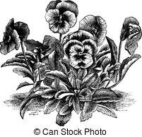 Violaceae Vector Clipart Illustrations. 25 Violaceae clip art.