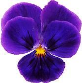 Violaceae Clip Art.