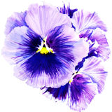 Violaceae Stock Illustrations.