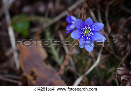 Stock Photo of Violet forest flower k14281554.