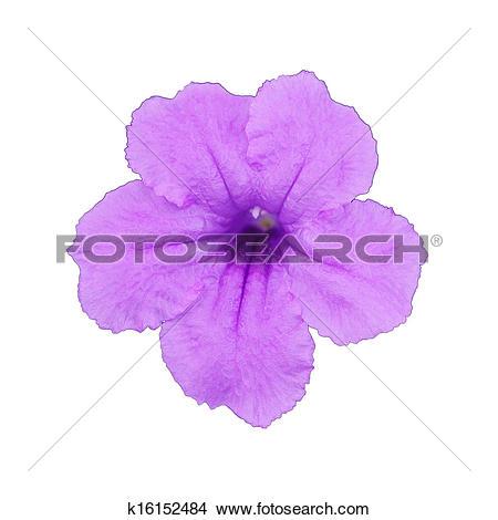 Stock Photo of Minnie Root flower k16152484.
