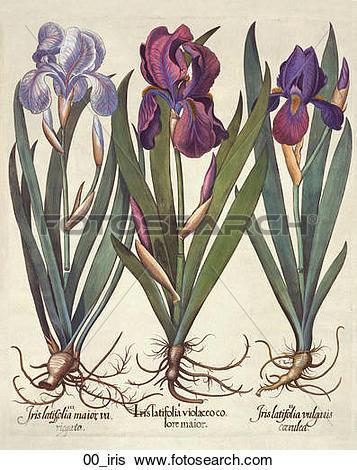 Stock Illustration of Antique Floral Illustration of Blue Irises.