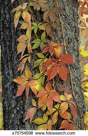 Pictures of Virginia Creeper, Parthenocissus quinquefolia, in fall.
