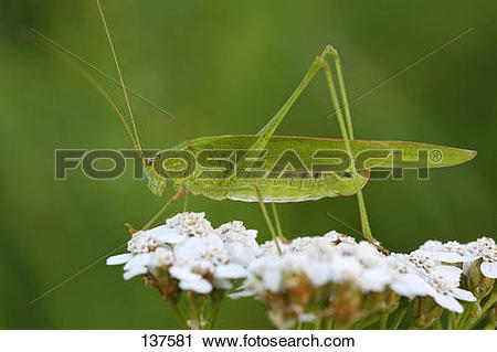 Stock Photography of great green bush cricket on flower.