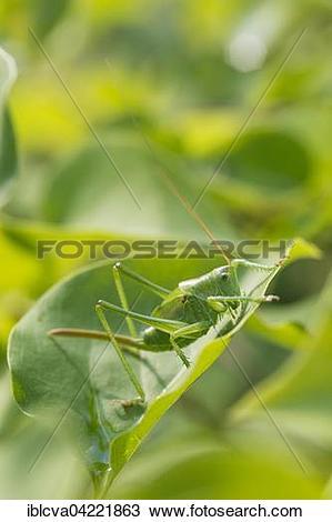 Stock Photo of Great Green Bush.