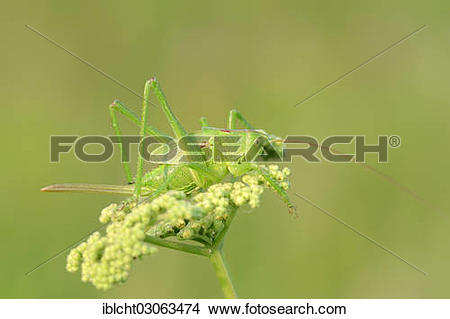 "Stock Photo of ""Great Green Bush Cricket (Tettigonia viridissima."