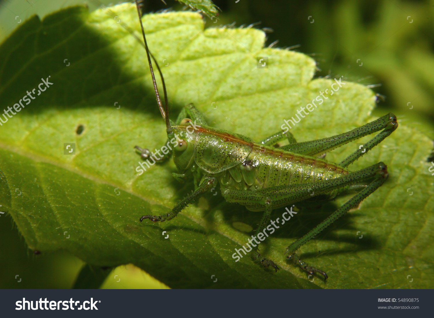 Early Larval Stage Of The Large Green Grasshopper (Tettigonia.