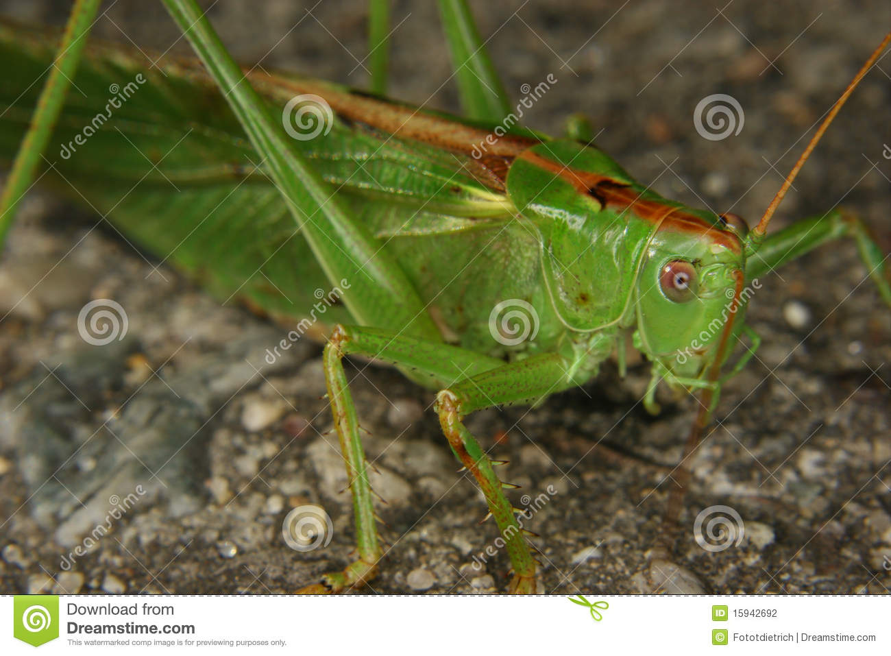 Large Green Grasshopper (Tettigonia Viridissima) Stock Photography.