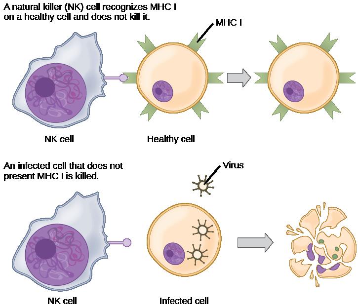 Adaptive Immune Response.