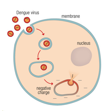 discover how dengue virus infects cells.