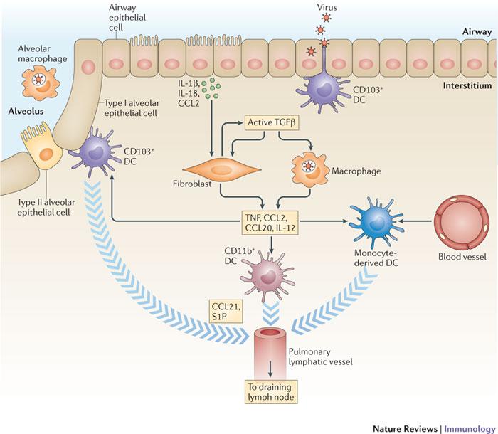 Figure 1 : Regulating the adaptive immune response to respiratory.