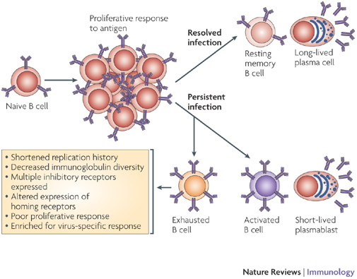 Figure 3 : B cells in HIV infection and disease : Nature Reviews.