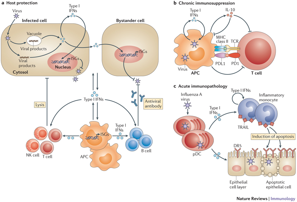 Type I interferons during viral infection. : Type I interferons in.