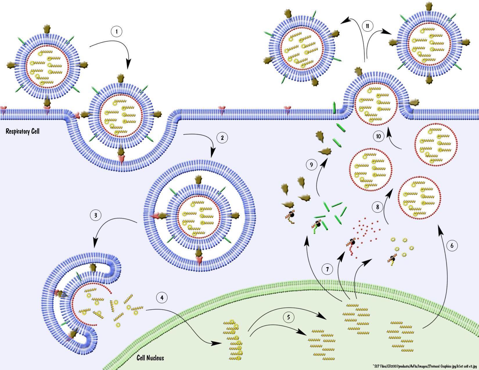 Avian Flu Virus and Antibodies Tutorials.