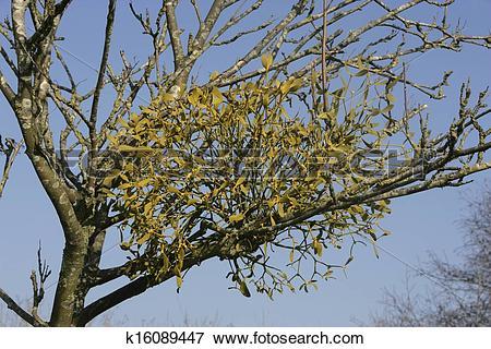 Picture of Mistletoe, Viscum album, Gloucestershire k16089447.