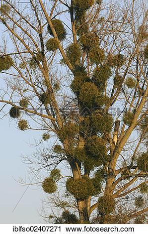 """Stock Photography of """"European Mistletoe or Common Mistletoe."""