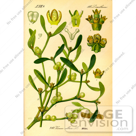 Picture of European Mistletoe, Common Mistletoe (Viscum album.