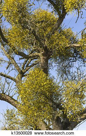 Pictures of Wild Mistletoe (Viscum album) k13500028.