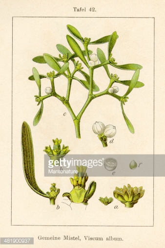 Antique Flower Illustration: Mistletoe (viscum Album) stock.