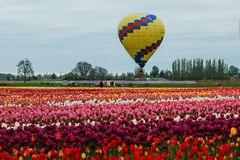 Blooming Tulip Field Editorial Image.