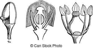 Vitaceae Vector Clip Art Royalty Free. 2 Vitaceae clipart vector.