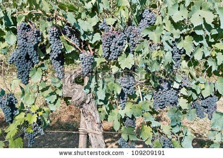 Plant, Leaves And Fruit Of The Vine, Vitis Vinifera, Vitaceae.
