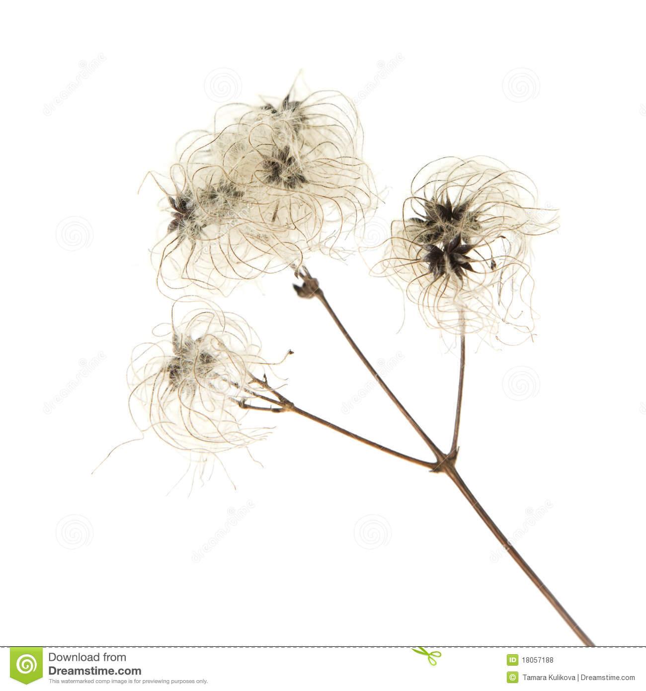 Dry Seedhead Of Clematis Vitalba Royalty Free Stock Photos.