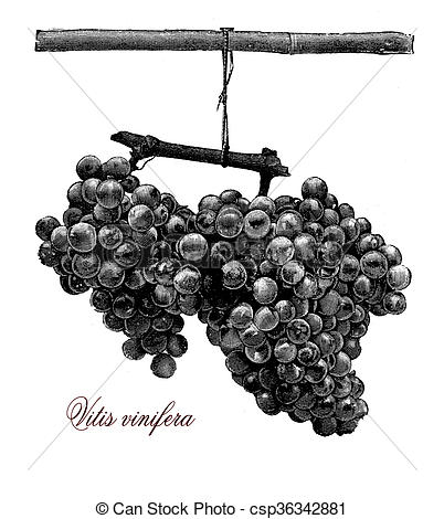 Stock Illustration of Agriculture, vintage illustration, vitis.