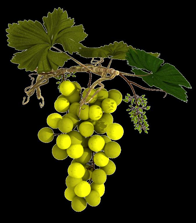 Vitis vinifera png 2 » PNG Image.