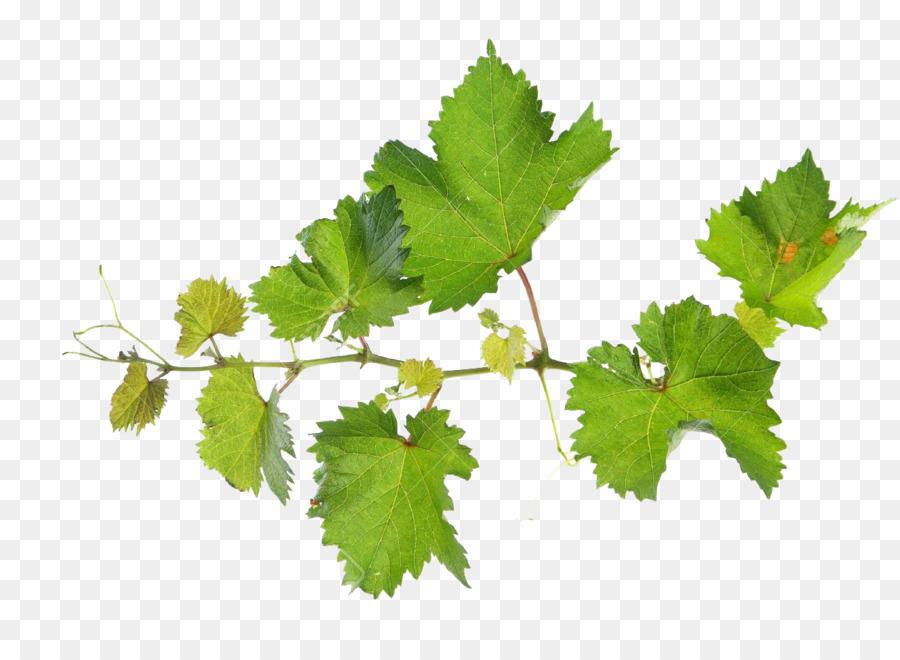 Download Free png Common Grape Vine Grape leaves Vitis rupestris.