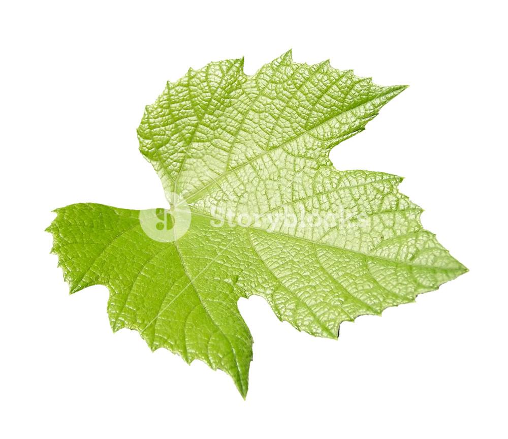 Vine vitis grapevine leaf isolated over transparent background PNG.