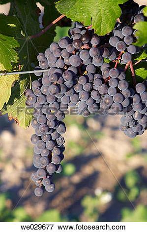 Picture of Black grapes (Vitis vinifera, var. Tempranillo). La M.