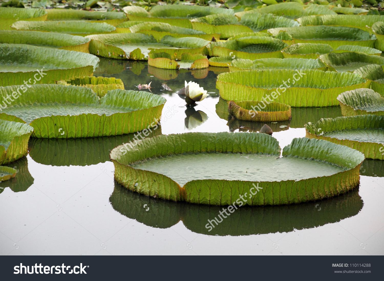Majestic Amazon Lily Pads In Tropical Asia (Victoria Regia) Stock.
