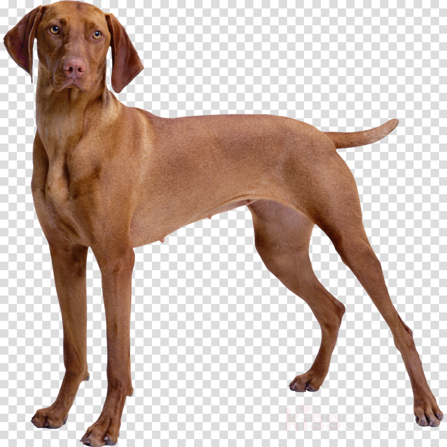 dog vizsla weimaraner pointing breed sporting group clipart.