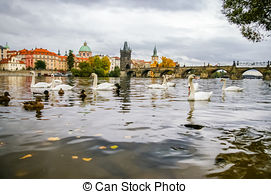Stock Photography of Swans on Vltava river in Prague, Czech.