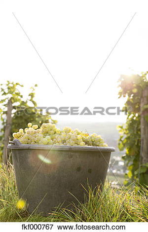 Picture of Germany, Bavaria, Volkach, harvested grapes in bucket.
