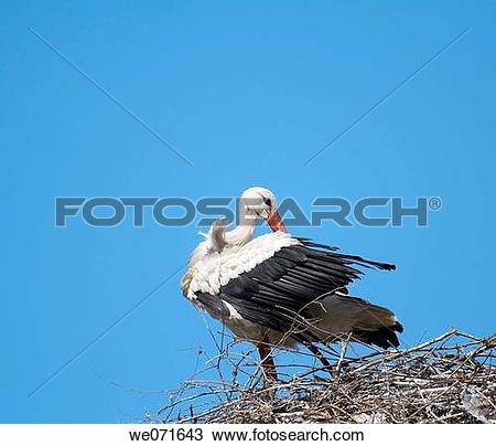 Stock Photo of White Stork ( Ciconia ciconia ) on the nest. Russia.