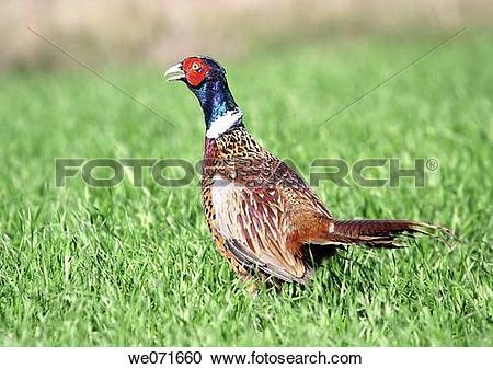 Stock Photography of Common Pheasant ( Phasianus colchicus.