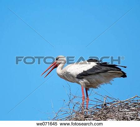 Stock Image of White Stork ( Ciconia ciconia ) on the nest. Russia.