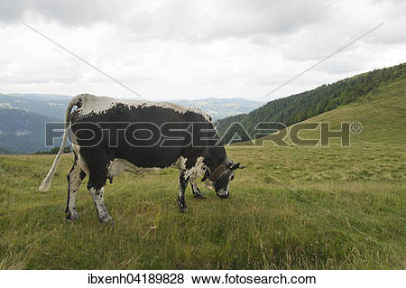 Pictures of Vosges cattle (Bos primigenius taurus), rare.