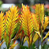 Stock Photography of bromeliad or vriesea splendens k19055771.